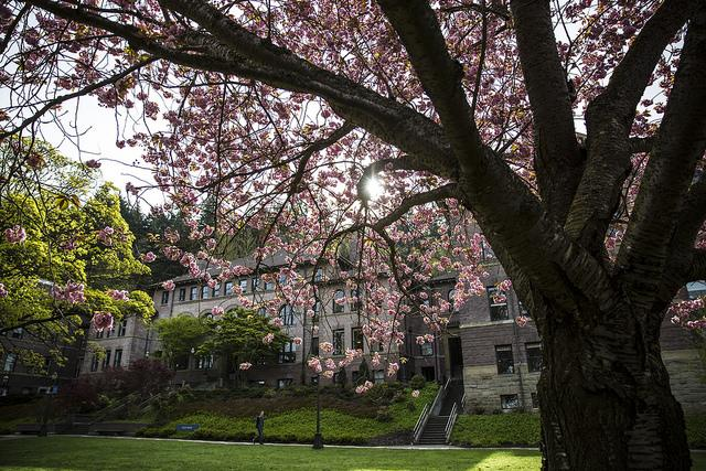 A pciture of the old main building on campus, seen through the branches of an in-bloom cherry blossum tree